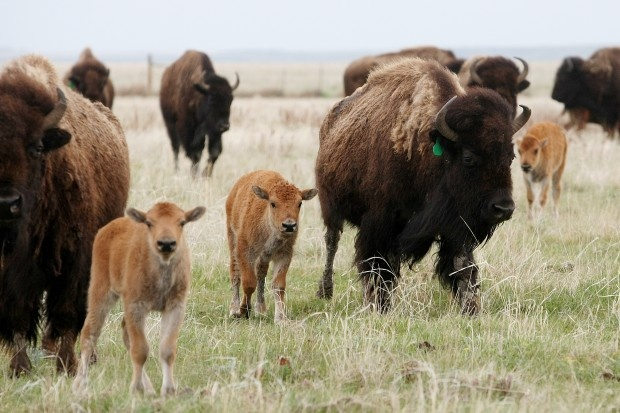 Western lawmakers from the Dakotas Wyoming, Colorado, Nebraska, Kansas and New Mexico – and hangers-on from Rhode Island – are backing a Senate bill to nominate the bison as the national mammal, joining the national bird, the bald eagle.