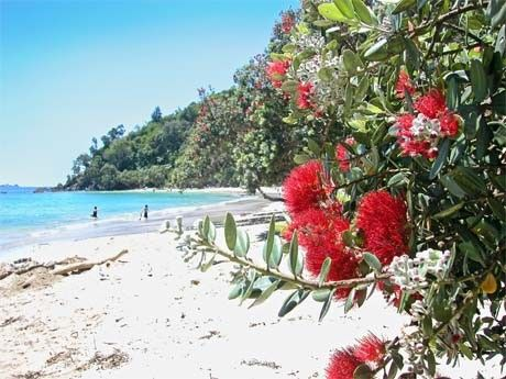 The pohutukawa tree (Metrosideros excelsa) with its crimson flower has become an established part of the New Zealand Christmas tradition. This iconic Kiwi Christmas tree, which often features on greeting cards and in poems and songs, has become an important symbol for New Zealanders at home and abroad.