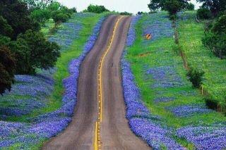 bluebonnets along a Texas road