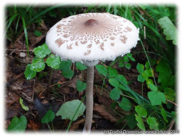 Сентябрьские грибы Приморья.
