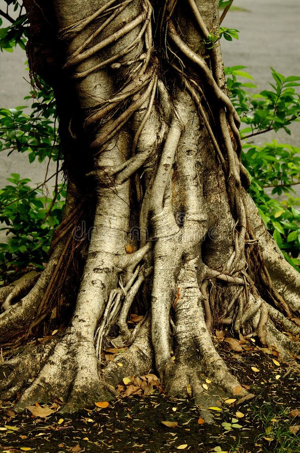 Root. Tree Root of a really big tree , sponsored, Tree