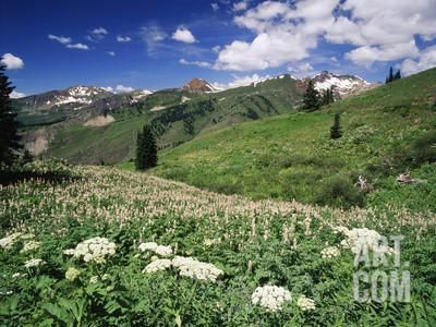 Cow Parsnip, Two-Grooved Milkvetch Mountain, Gunnison National Forest, Colorado, USA Photographic Print by Adam Jones at Art.com