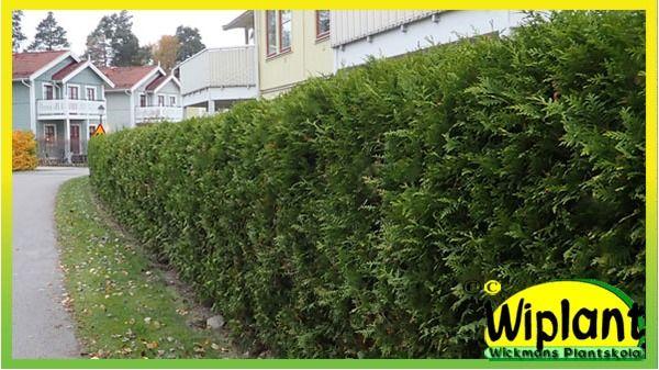 Brabanttujahäck 22 m. Plantera till en snabbväxande, formklippt vintergrön häck.