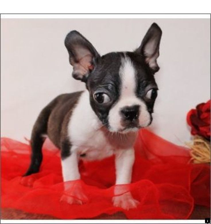 Click On The Link For More Info Pug Dog Price Check The Webpage