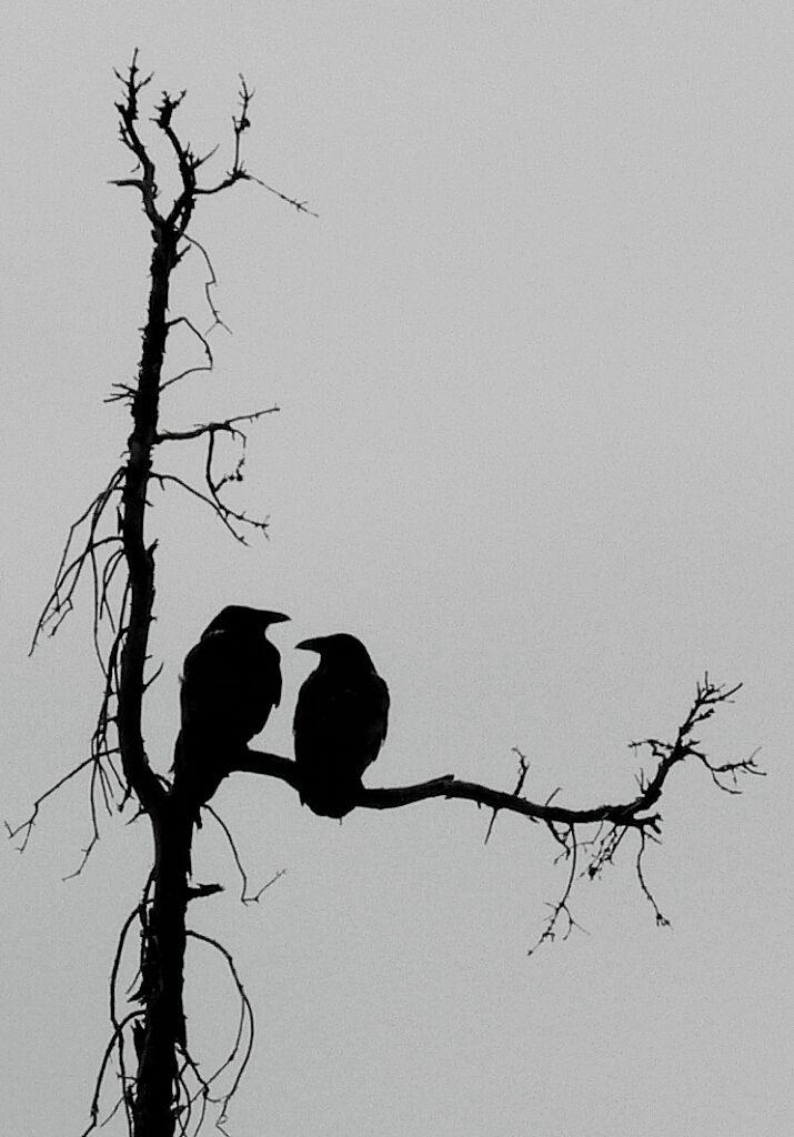 Ravens                                                                                                                                                                                 More