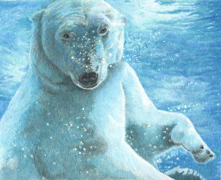 Pencil Drawings of Polar Bears This final drawing is in