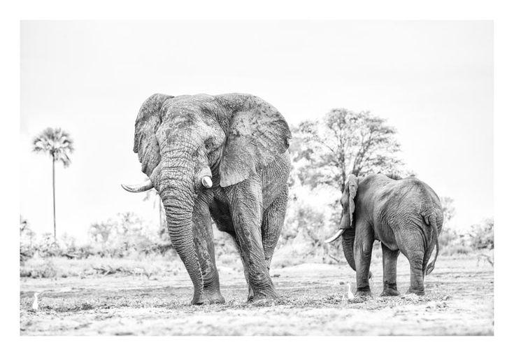 Elephant bulls in a BW wildlife print by wildlife photographer Dave Hamman