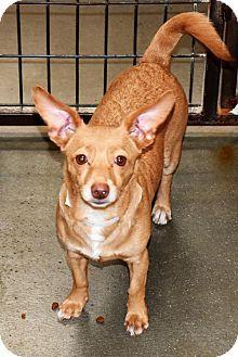 San Jacinto, CA - Corgi/Chihuahua Mix. Meet Anastasia, a dog for adoption. http://www.adoptapet.com/pet/17119201-san-jacinto-california-corgi-mix