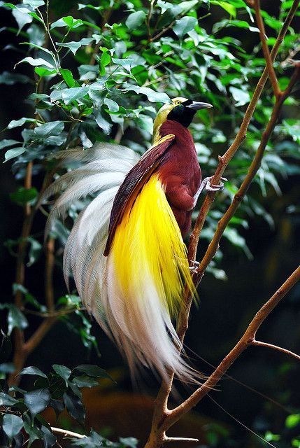 This raggiana bird-of-paradise is so beautiful, with its fluffy feathers. Birds of paradise have evolved by sexual selection which is why the males are so beautiful.