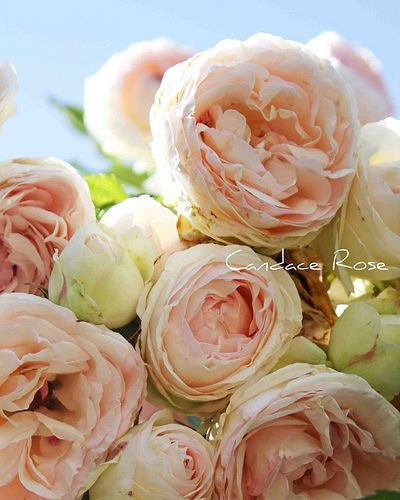 These English roses will be in my wedding, along with dahlia, peonies and carnations