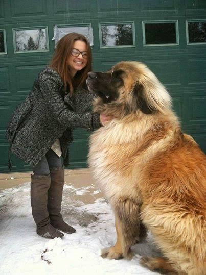This is Simba, a Leonberger. This type of dog can weigh up to 170 pounds, but they're very loyal and disciplined. I would love to cuddle with this gentle giant.Google+