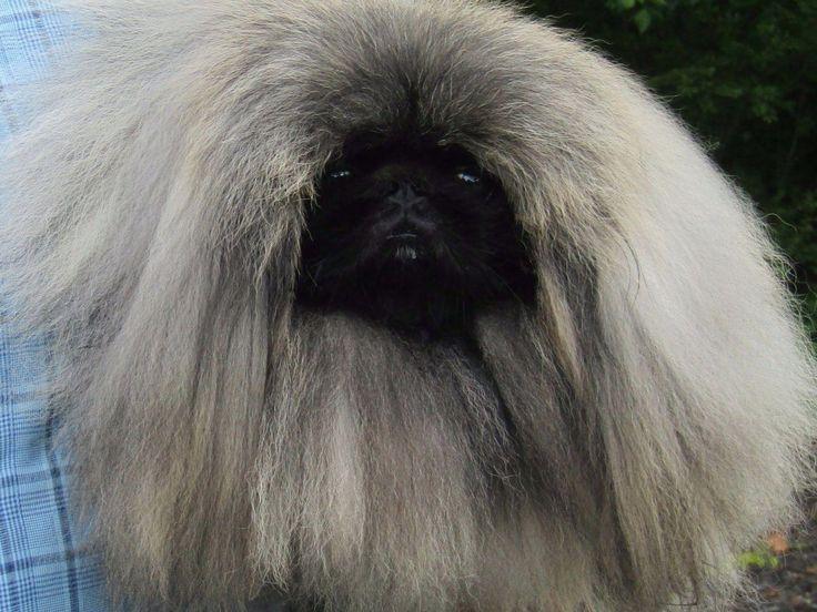 Kaimere - Pekingese Puppies For Sale