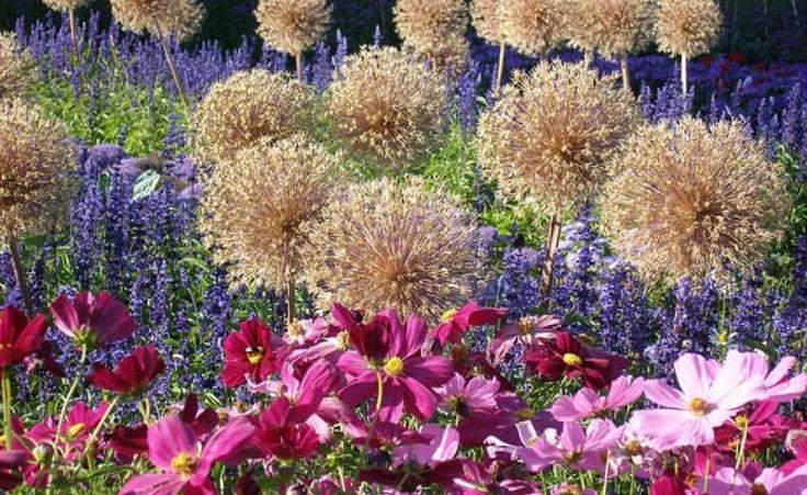 Zierlauch: Farbenfrohe Blütenkugeln