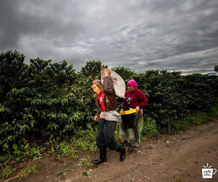 Con más de 50 años de tradición, resplandece un café quindiano que está lleno de excelencia. Un café sembrado en las verdes montañas y cosechado grano a grano por campesinos herederos de esta tradición. Agricultores dedicados al uso de recursos renovables y la conservación del medio ambiente. El resultado? Una fragancia a vainilla y caramelo. Un aroma a frutos rojos. Y un cuerpo cremoso. Qué estás esperando...  Aprende más: www.cafeclic.com/products/cafe-la-morelia