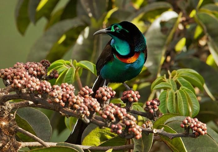 A magnífica ave do paraíso tem uma plumagem maravilhosa em tons de verde, laranja e amarelo, que contrasta fortemente com o resto de suas penas pretas. Estas aves são encontradas apenas nas montanhas da Guiné Ocidental.