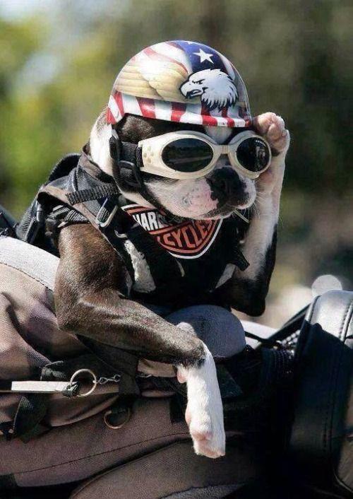 Biker pup #harley #bikers