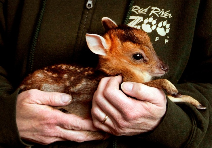 Muntjac fawn - Muntjac Deer are among the world's oldest and smallest of the species. This little one weighed in at just 1 pound 10 ounces (.49 kg)! (Learn more on ZooBorns.com.): Rivers Zoos, Aww Things, Red Rivers, Baby Deer, 10 Ounc, Baby Animal, Mom Jasmine, Muntjac Fawns, Muntjac Deer