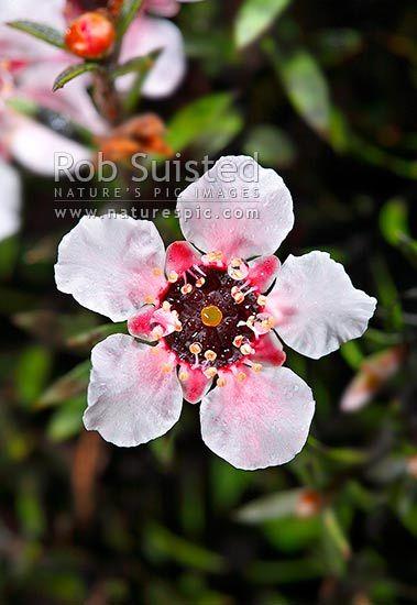 Native Manuka flowers (Leptospermum scoparium) - Red tea tree.  Source of Manuka Honey, New Zealand (NZ). (Rob Suisted)