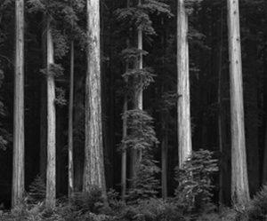 Northern California Coast Redwoods,   Ansel Adams