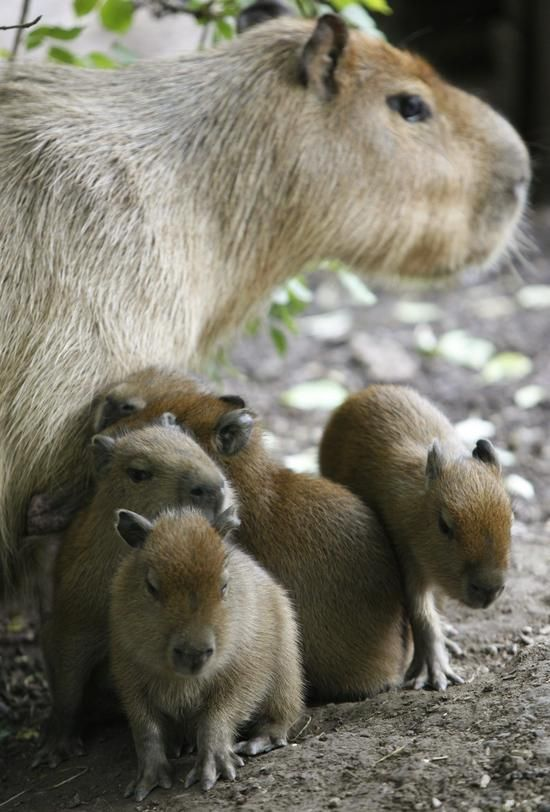 Young Capybara with their mother.