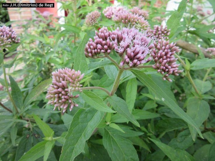 ASTERACEAE eupatorium cannabinum - koninginnekruid