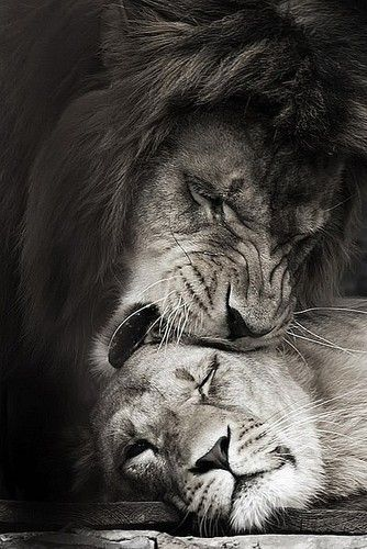 Love nudge: Male lion gives a wake up nudge to a female