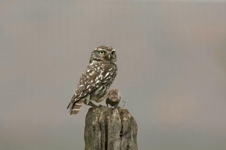 Steenuil ( Athene noctua ) met een verse prooi. A Little Owl ( Athene noctua ) with her prey  Photographer Cees Uri www.ceesuri.nl