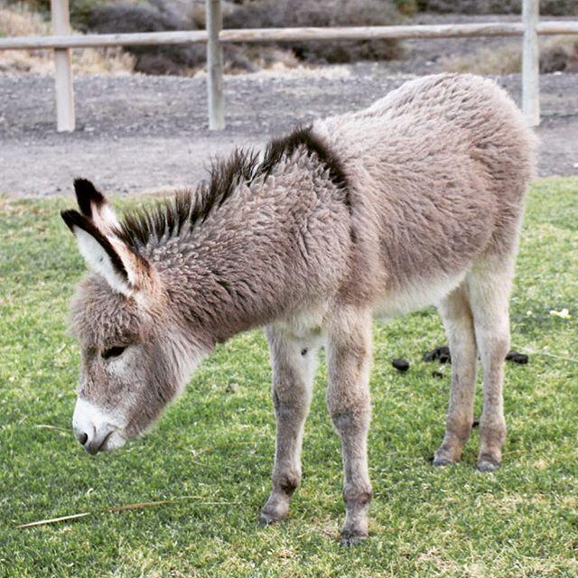 #donkey #babydonkey #morrojable #jandia #fuerteventura #canaryislands