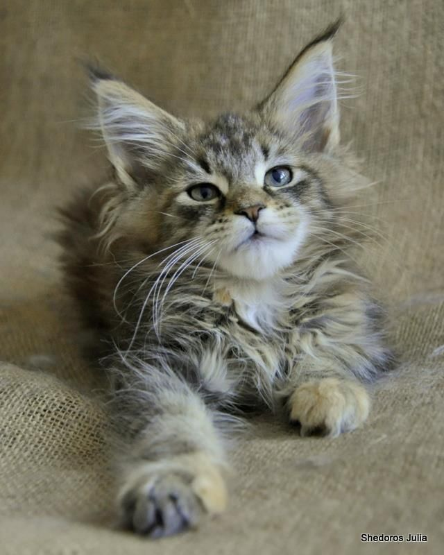Dorothea Scibura by Shedoros Maine Coon Cattery