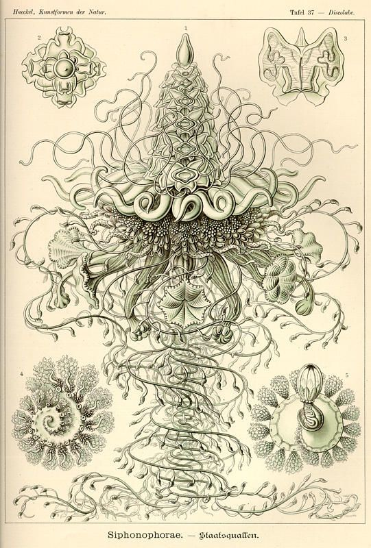 Ernst Haeckel - biologist, naturalist, philosopher, physician, professor and artist who discovered, described and named thousands of new species, mapped a genealogical tree relating all life forms, and coined many terms in biology, including anthropogeny, ecology, phylum, phylogeny, and the kingdom Protista.