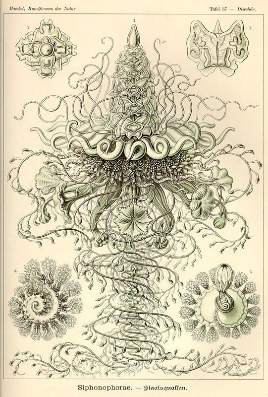 Tafel_037_medium_Ernst_Haeckel_Kunstformen -der -Natur_Art_forms_in_nature_recapitulation_radiolaria_evolution_creationism