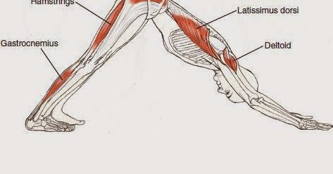 Nombre Común:  Perro boca abajo     Nombre en Sánscrito: Adho Mukha Svanasana     Nivel:  Básico                        Anatomía:      ...