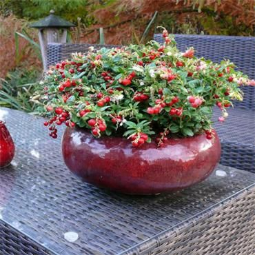 Lingonberries - Vaccinium vitis idaea Miss Cherry - Self fertile | Johnstown Garden Centre, Ireland