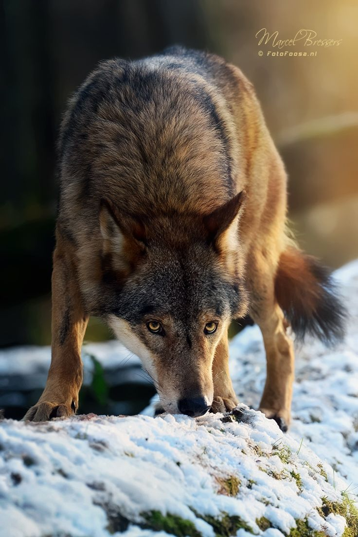 Eurasian Grey Wolf ~ 'Hunger is stronger than fear' by Foto Foosa*