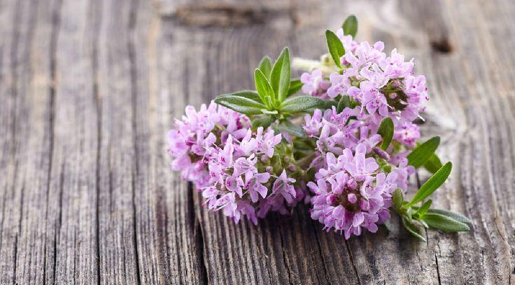 MATEŘÍDOUŠKA – jak sklízet a užívat + 6 léčivých receptů