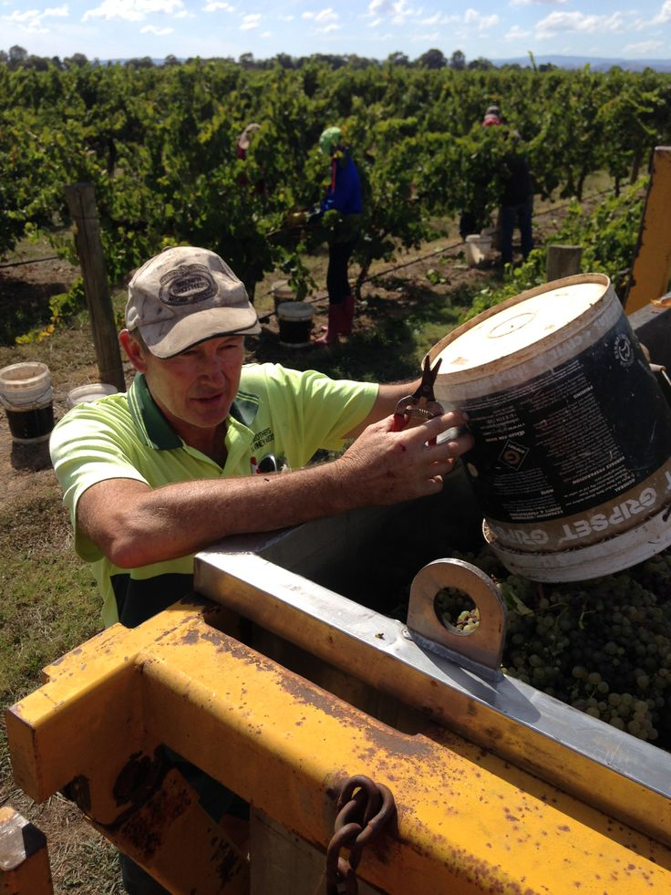 Lawrie picking Noble Riesling in Milawa.