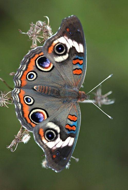 Common Buckeye #Butterfly by DrPhotoMoto @ Flickr