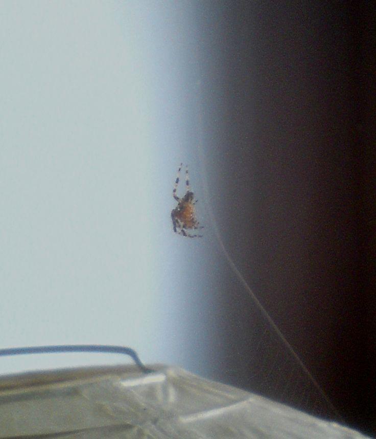 Spinnlein, Spinnlein an der Lamp... Die kleine Kreuzspinne ist jetzt über die Deckenlampe gezogen.  https://www.youtube.com/watch?v=-ngV3SdoAq4