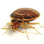 Une infestation de punaises de lit affecte la santé mentale