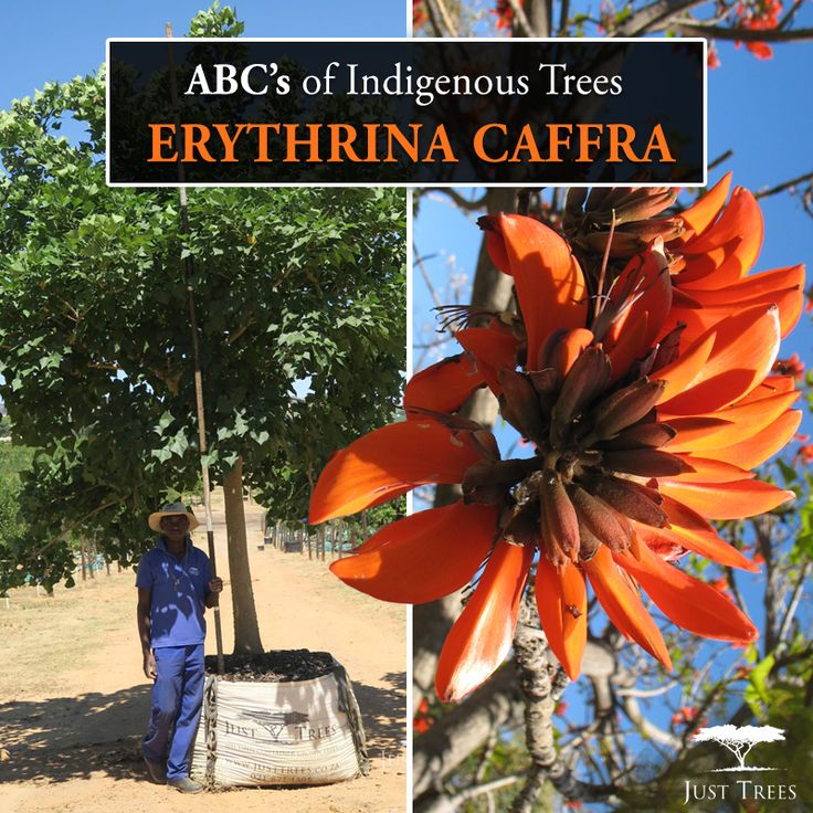 Meet the Erythrina caffra! Also known as the Coastal Coral Tree, this beautiful specimen is a popular choice because of its unique, orange flowers that bloom during colder winter months up to spring... Often used in parks and avenues, this well-loved tree is very adaptable and more mature specimans are fairly drought resistance.