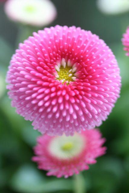 Bellis perennis - daisy