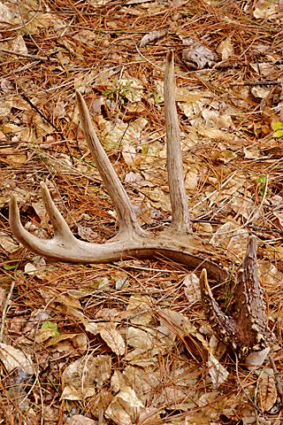 About shed hunting on pinterest sheds antlers and shed antlers