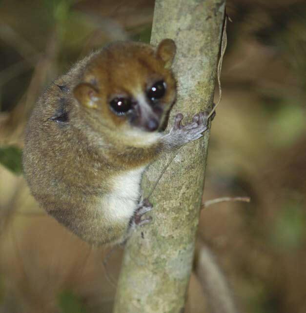 Arnhold's Mouse Lemur Microcebus arnholdi | Madagascar ...