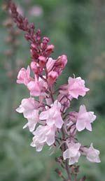 so, 60 - 80 cm h, blüht 7 - 10 Linaria purpurea 'Canon J. Went' - Rosa Leinkraut