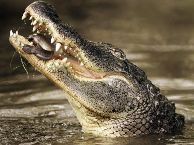 Nile Crocodile Attacks On Humans | Crocodile Attacks On Humans