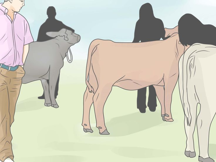 How to Show a Beef Steer -- via wikiHow.com
