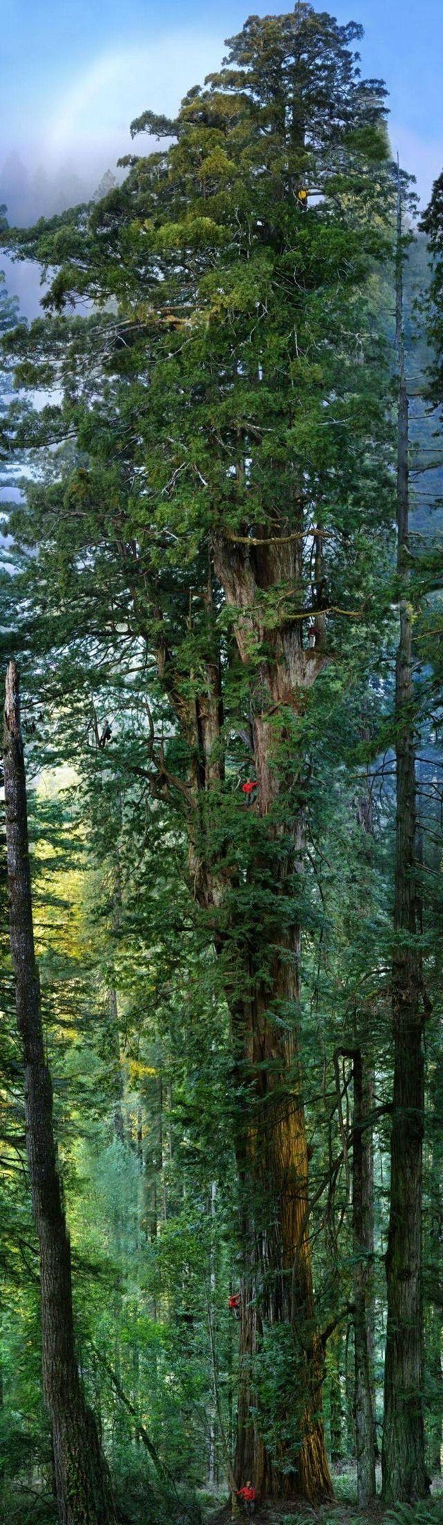 世界一大きな木「ジャイアント・セコイア」(高さじゃないよ) : とざなぼニュース