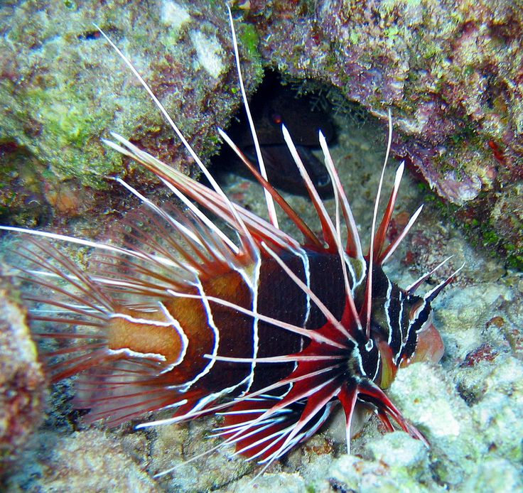 Great Barrier Reef Animals – The Great Barrier Reef, found off the coast of Queensland, Australia is the largest structure on earth, made from living specimens.  In fact, this reef is visible from space. As you might have guessed, this massive organism provides food and shelter to a large number of animals. #GreatBarrierReefAnimals #lionfish