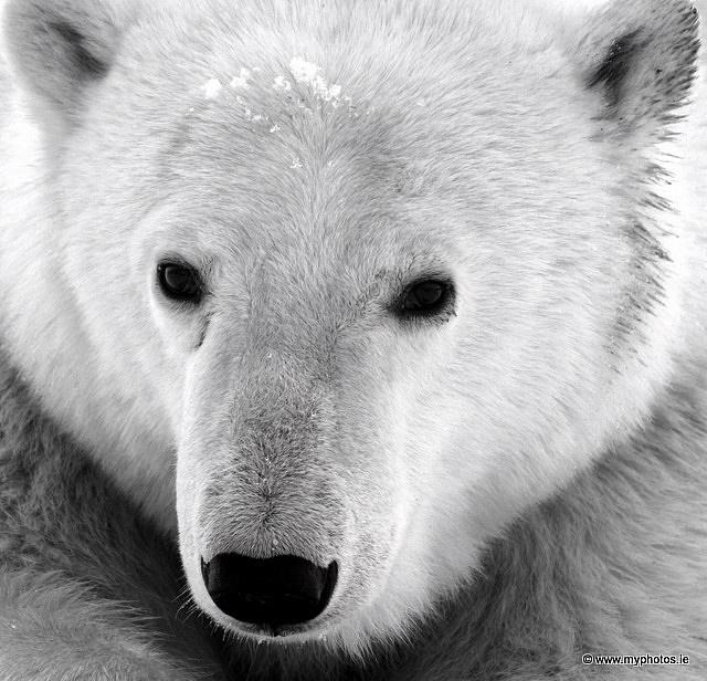 Picture used on NSVH 01-23-14 for Polar Bear Swim Day Jan 18th. polar bear