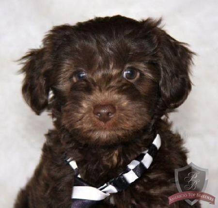Yorkie Poo Puppy Dying From Cuteness Animals Pinterest